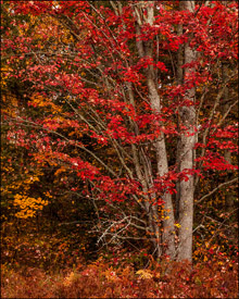 Red maple tree near Bond Falls, Upper Michigan