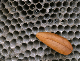 Wasps nest with leaf