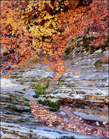Maples and sandstone, Zion National Park, Utah