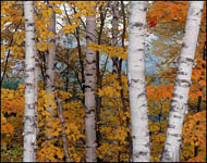 White Birches, Hiawatha National Forest, Upper Michigan