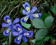 Dwarf Lake Iris and Wild Strawberry leaves, Ridges Sanctuary, Door County, WI